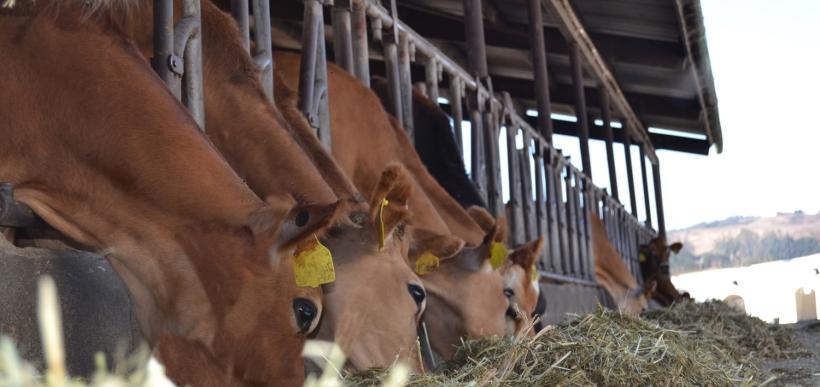 Cows_Feeding