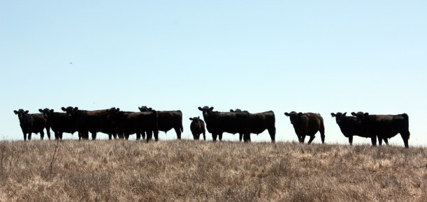 barinaga_cattle_august2012